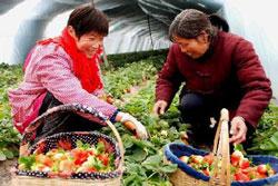 Chinese Harvest